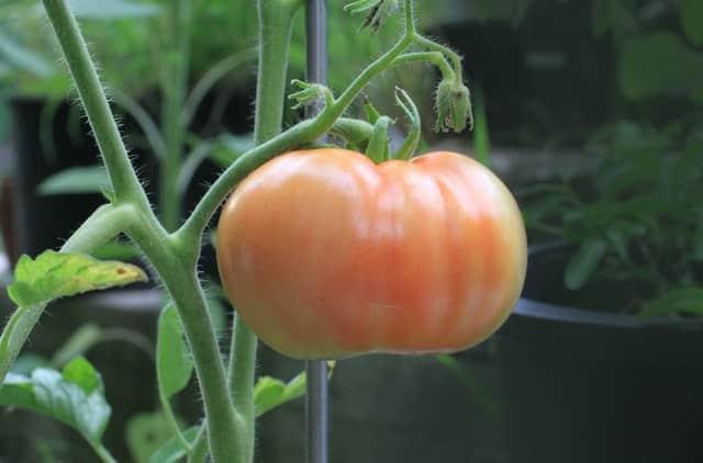 tomato ripening on the vine