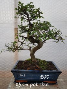 bonsai tree essex