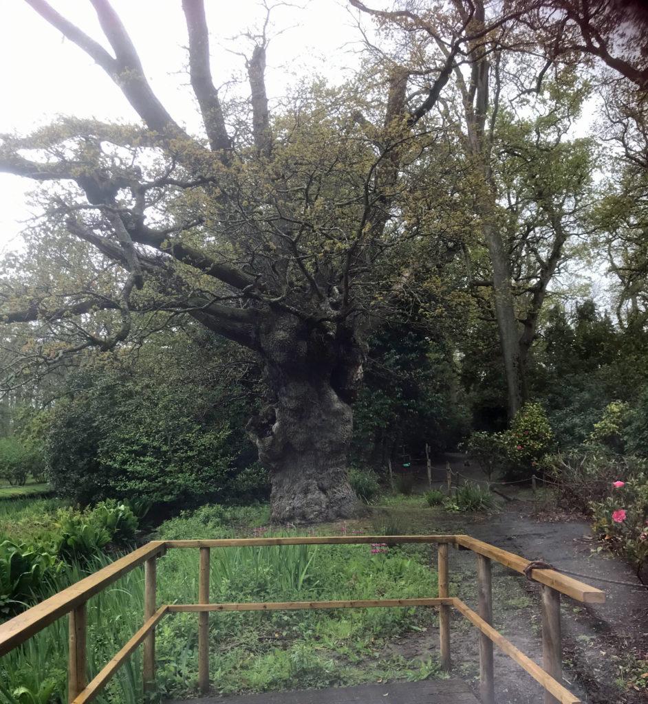 950 year old oak tree