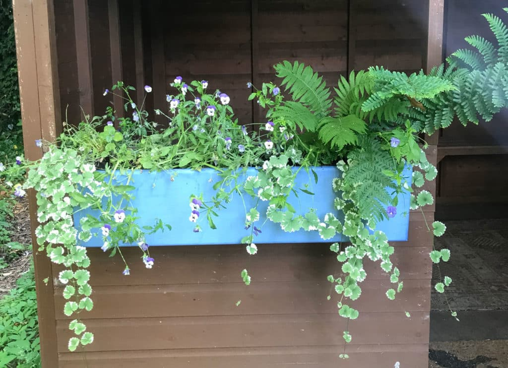 painted blue window box with a combination of foliage plants