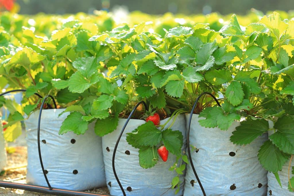 watering strawberries in the plant nursery